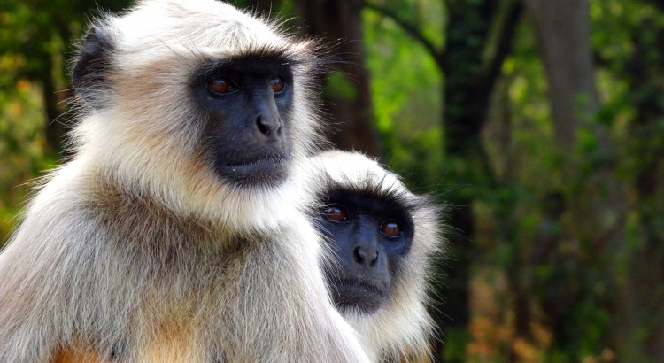 Langur_Monkey
